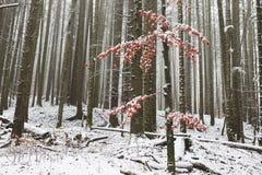 Ensamt träd med röda sidor som täckas i snö Royaltyfria Foton