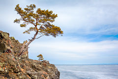 Ensamt träd nära Baikal sjön Arkivfoton