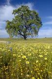 Ensamt träd och färgrik bukett av vårblommor som blomstrar av rutt 58 på den Shell Creek vägen som är västra av Bakersfield i CA Royaltyfria Bilder