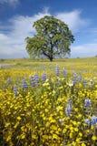 Ensamt träd och färgrik bukett av vårblommor som blomstrar av rutt 58 på den Shell Creek vägen som är västra av Bakersfield i CA fotografering för bildbyråer