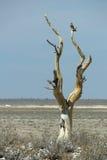 Ensamt träd och gam Arkivbild