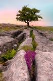 Ensamt träd och kalkstentrottoar i Yorkshire dalar Arkivbild