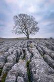 Ensamt träd och Limesone trottoar royaltyfri foto