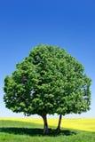 Ensamt träd på bakgrunden av den blåa himlen Arkivbild