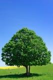 Ensamt träd på bakgrunden av den blåa himlen. Arkivbilder
