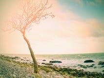 Ensamt träd på den tomma steniga kustlinjen Stam med brutna filialer Royaltyfri Foto