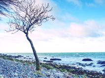 Ensamt träd på den tomma steniga kustlinjen Stam med brutna filialer Arkivbilder
