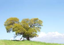 Ensamt träd på en gräs- backe, himmel i bakgrund arkivbilder