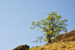 Ensamt träd på en kulle nära Catherine Creek i Columbiaet River Gor Arkivfoto