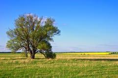 Ensamt träd på ett fält i vår Royaltyfria Bilder