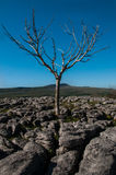 Ensamt träd på kalkstentrottoar royaltyfri bild