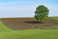 Ensamt träd som är fridsamt mot blå himmel royaltyfri fotografi