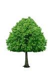 Ensamt träd som isoleras på en vit bakgrund Royaltyfria Bilder