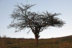 Ensamt träd som profileras i himlen Arkivbilder