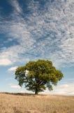 Ensamt träd - ek - träd i fältet - North Yorkshire Arkivbilder