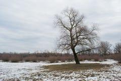 Ensamt träd på det snöig fältet Arkivbilder