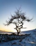 Ensamt träd - vinter Arkivfoton