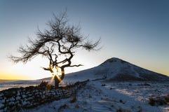 Ensamt träd - vinter Fotografering för Bildbyråer