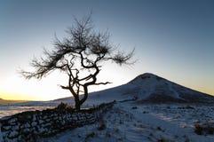 Ensamt träd - vinter Arkivfoto