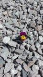 Ensamt växa för penséblomma på stenar Arkivfoton