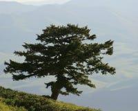 Ensamt vintergrönt träd på berget med avlägsna Farml Arkivfoto