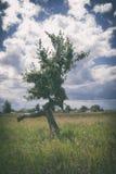 Ensamt visset krokigt träd under en molnig himmel arkivbild