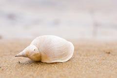 Ensamt vitt skal på en sandstrand Närbild Royaltyfria Bilder