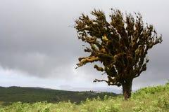 Ensamt windswept träd, Galapagos öar, Ecuador Royaltyfri Bild