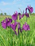 ensataen blommar irisen Arkivfoto