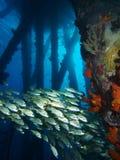 Enseñando el smallmouth gruña debajo del embarcadero de la sal, Bonaire, Antillas holandesas fotos de archivo