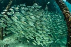 Enseñar pescados y el embarcadero en Raja Ampat Fotos de archivo