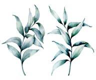 Ensemble argenté d'eucalyptus d'aquarelle Branche semée peinte à la main d'eucalyptus avec des feuilles d'isolement sur le fond b illustration libre de droits