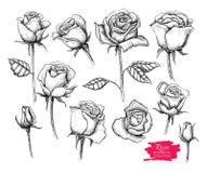 Ensemble botanique tiré par la main de rose de vecteur Collection gravée Photos stock