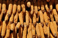 Ensemble d'épis de maïs image stock