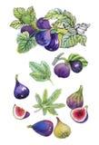 Ensemble d'aquarelle de figues sur le fond blanc Image stock