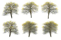 Ensemble d'arbre d'or, tabebuia d'isolement sur le fond blanc Photos stock