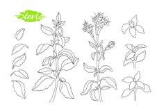 Ensemble d'art de stevia Aliment biologique de vecteur illustration stock