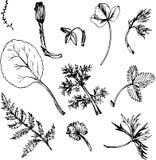 Ensemble d'herbes et de feuilles de dessin d'encre Photo stock