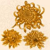 Ensemble d'isolement de fleur Chrysanthèmes d'or Photos stock