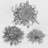Ensemble d'isolement de fleur Chrysanthèmes argentés Photos libres de droits