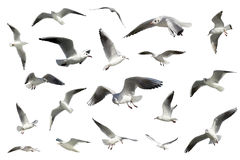Ensemble d'oiseaux de vol blancs d'isolement. mouettes Image stock