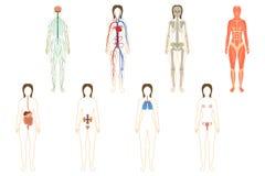 Ensemble d'organes et de systèmes de femme Photos stock