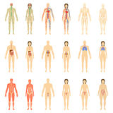 Ensemble d'organes humains et de systèmes Photo stock