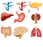 Ensemble d'organes internes humains illustration stock