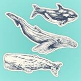 Ensemble de baleines tirées par la main autocollants de baleines réglés : bosse, cachalot, épaulard illustration libre de droits