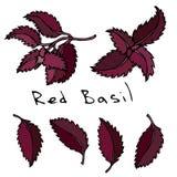 Ensemble de Basil Herb Branch et de feuilles rouges ou pourpres Croquis tiré par la main réaliste de style de griffonnage Illustr Photographie stock libre de droits