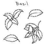 Ensemble de Basil Herb Branch et de feuilles verts Croquis tiré par la main réaliste de style de griffonnage Illustration de vect Images libres de droits