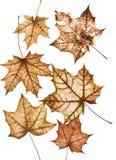 Ensemble de beaucoup vieil érable délabré multicolore lumineux l d'automne images libres de droits