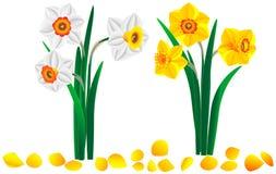 Ensemble de beaux bouquets jaunes et blancs des narcisses Photo stock