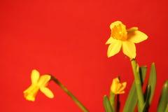 Ensemble de belles jonquilles jaunes sur le fond rouge image libre de droits